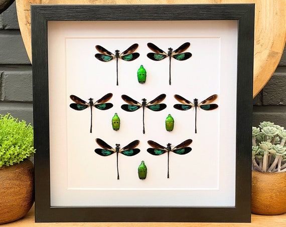 Framed Dragonfly art, insect Butterfly Box Frame taxidermy entomology nature, beauty insect taxidermy photography