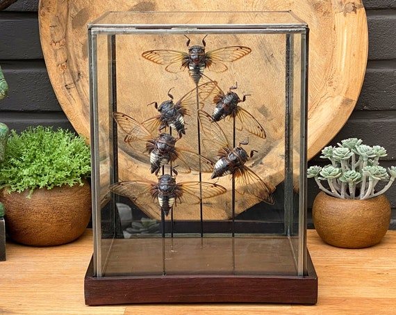 Cicade collection in a glass display .Butterfly Butterfly  taxidermy entomology nature, beauty insect taxidermy photography