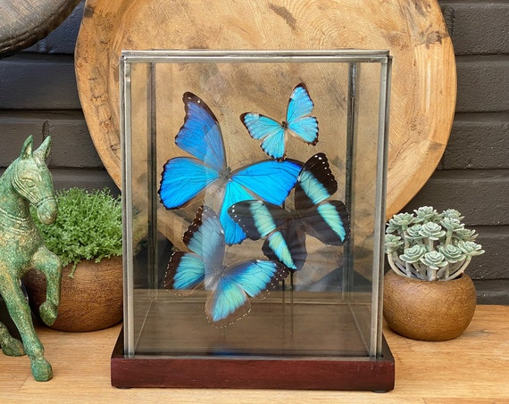 Glass display with Morpho collection, taxidermy, entomology, bats