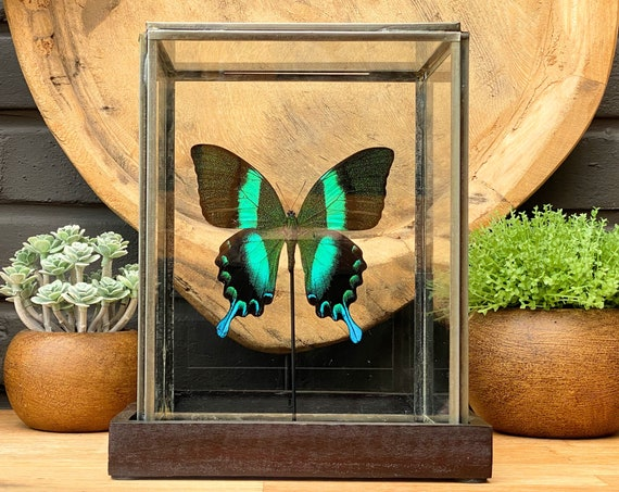 Papilio Blumei in a glass display .Butterfly Frame taxidermy entomology nature, beauty insect taxidermy photography