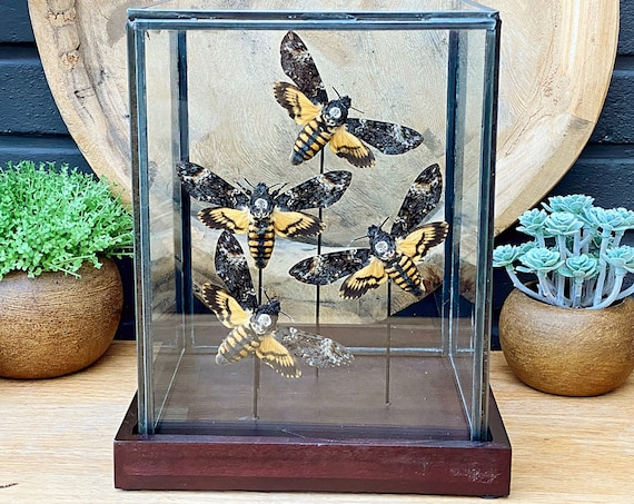 Acherontia Atropos collection in a glass display .Butterfly Butterfly  taxidermy entomology nature, beauty insect taxidermy photography