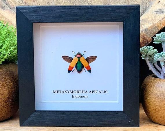 Metaxymorpha Apicalis, Taxidermy,art,birthday gift,Gift for friend, entomology
