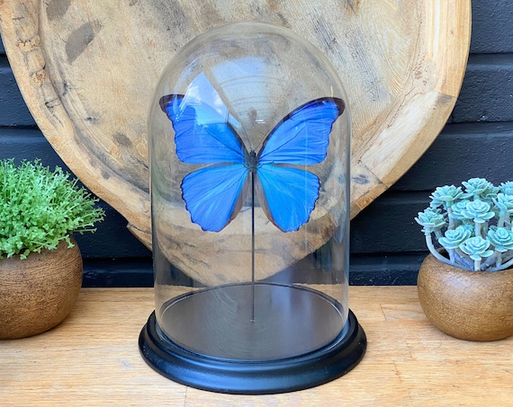 Bell Jar with a real Morpho Didius Butterfly, Taxidermy,art,birthday gift,Gift for friend, entomology