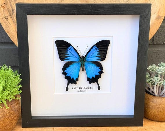 Framed Papilio Ulysses butterfly (The blue emperor), Taxidermy and Entomology homedecoration