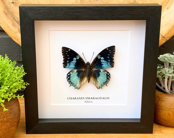 Charaxes Smaragdalis insect Framed Butterfly Box Frame taxidermy entomology nature, beauty insect taxidermy photography