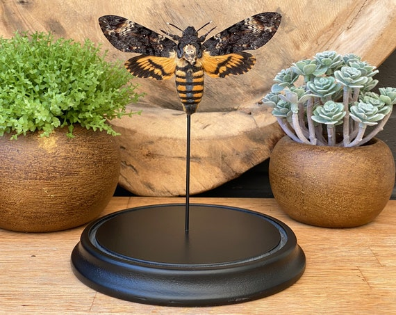 "Acherontia Atropos in bell jar.  ""Death head's hawk moth""  , Butterfly Box Frame taxidermy  nature, beauty insect taxidermy photography"