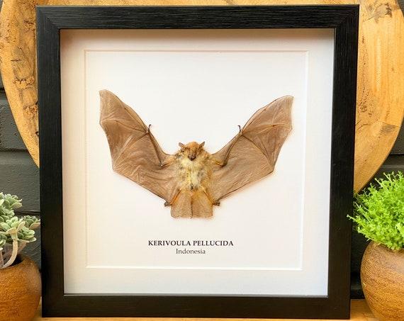 Kerivoula Pellucida bat in frame Taxidermy,art,birthday gift,Gift for friend, entomology