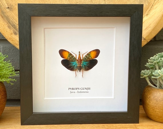 Pyrops Gunjii in frame, handmade,Entomology,taxidermie,Nature,Entomologie