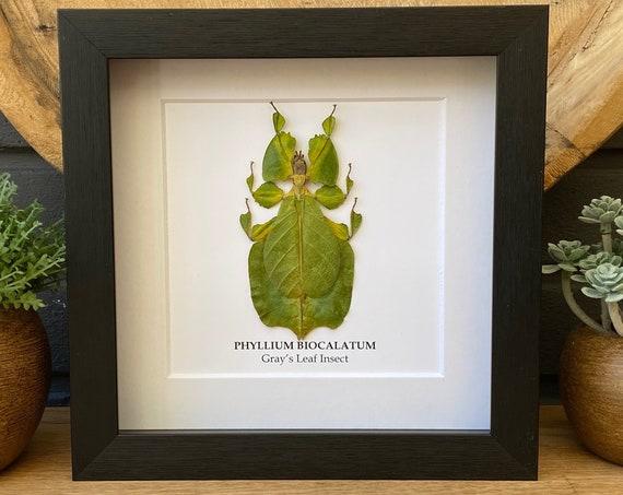 "Framed Leaf Insect ""Phyllium Bioculatum"",Taxidermy and Entomology homedecoration wall art"