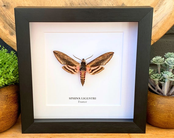 Framed Sphinx Ligustri, Butterfly Box Frame taxidermy entomology nature, beauty insect taxidermy photography
