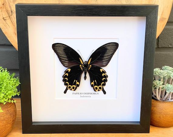 Papilio Deiphobus Butterfly framed, Box Frame taxidermy entomology nature, beauty insect taxidermy photography