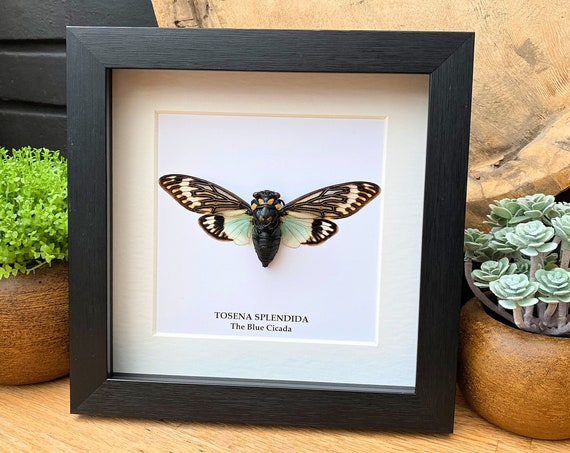 Tosena Splendida insect Frame Butterfly Box Frame taxidermy entomology nature, beauty insect taxidermy photography