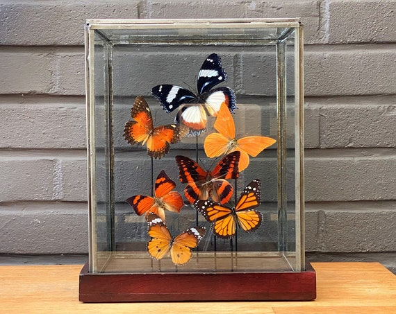 Orange butterfly collection in a glass display .Butterfly  taxidermy entomology nature, beauty insect taxidermy photography