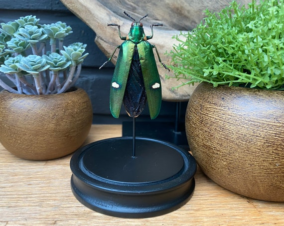 Megaloxantha Bicolor beetle in bell jar, Butterfly Box Frame taxidermy entomology nature, beauty insect taxidermy photography
