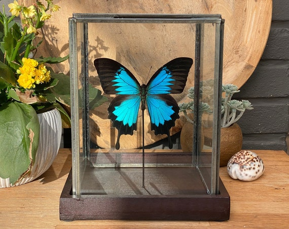 Papilio Ulysses in a glass display .Butterfly Frame taxidermy entomology nature, beauty insect taxidermy photography