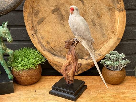 "Real Taxidermy bird "" White-Gray Psittacula krameri"" --> Only sale in EU ""Cites Appendix II"""