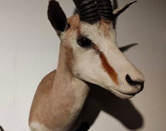 Springbok Shoulder Mount - Antidorcas marsupialis.  Taxidermy,art,birthday gift,Gift for friend, entomology