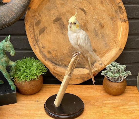 "Real Taxidermy bird ""White Nymphicus hollandicus"""