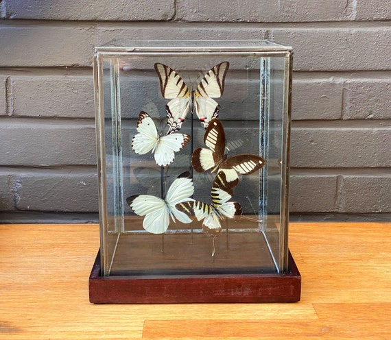 White butterfly collection in a glass display, taxidermy, entomology, bats