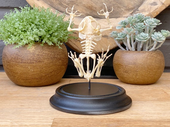 "Bell jar with Toad skeleton ""Duttaphrynus melanostictus"",Taxidermy and Entomology homedecoration"
