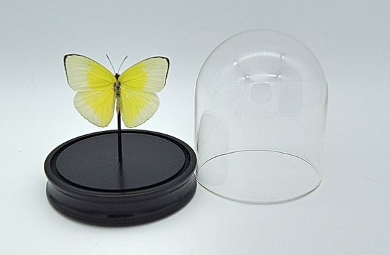 Bell Jar with a real Phoebis Statira Butterfly