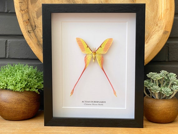 """Actias Dubernardi male framed """"Chinese moon moth"""" ,Butterfly Box Frame taxidermy entomology nature, beauty insect taxidermy photography"""