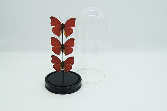3x Cymothoe Sangaris in bell jar.Butterfly Butterfly Box Frame taxidermy entomology nature, beauty insect taxidermy photography