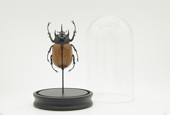 Eupatorus Gracillicornis beetle in bell jar, Framed Butterfly Box Frame taxidermy entomology nature, beauty insect taxidermy photography