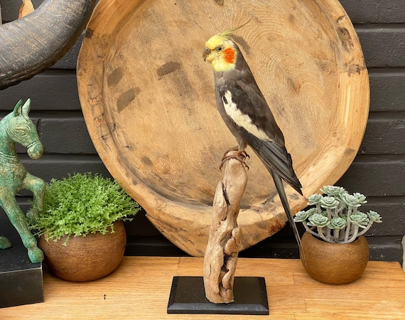 "Real Taxidermy bird ""Nymphicus hollandicus"""
