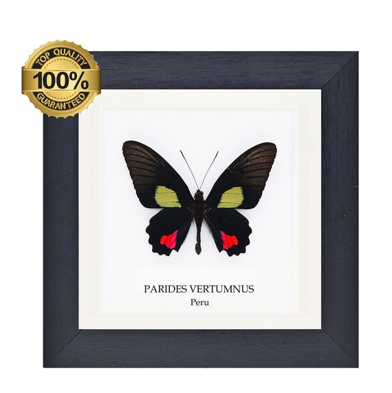 Parides Vertumnus framed,  insect Butterfly Box Frame taxidermy entomology nature, beauty insect taxidermy photography