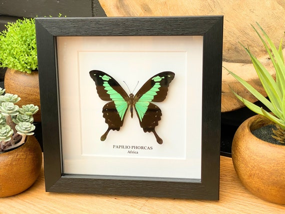 Papilio Phorcas butterfly Framed, Taxidermy,art,birthday gift,Gift for friend, entomology