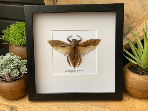 Lethocerus Indicus in frame Taxidermy,art,birthday gift,Gift for friend, entomology