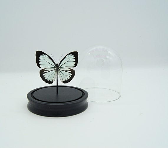 Pareronia Boebera Butterfly in bell jar, taxidermy entomology nature, beauty insect taxidermy photography
