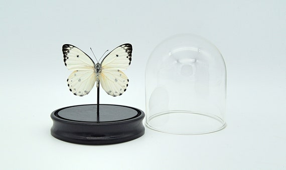 Bell Jar with a real Belenois Calypso Butterfly