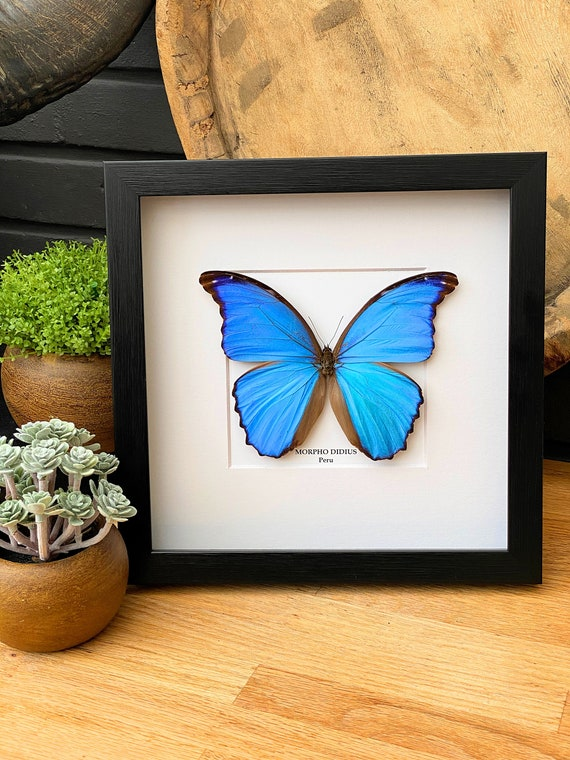 Morpho Didius framed :Giant Blue Moprho, insect Butterfly Box Frame taxidermy entomology nature, beauty insect taxidermy photography