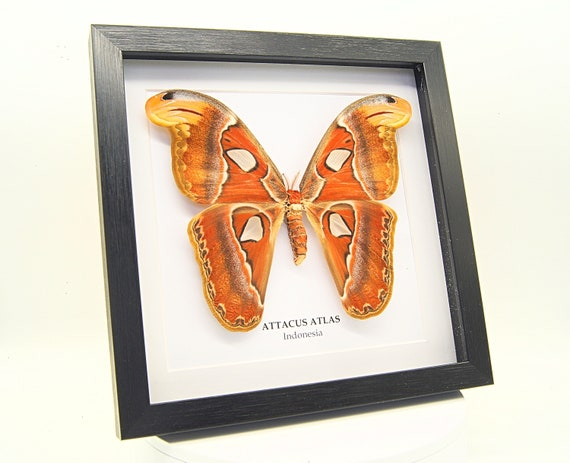 Attacus Atlas in frame, insect Butterfly Box Frame taxidermy entomology nature, beauty insect taxidermy photography
