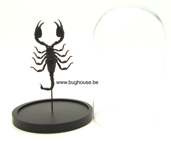 Bell jar with Real Scorpion Heterometrus laoticus ,  Box Frame taxidermie entomologie natuur, schoonheid insect taxidermie fotografie