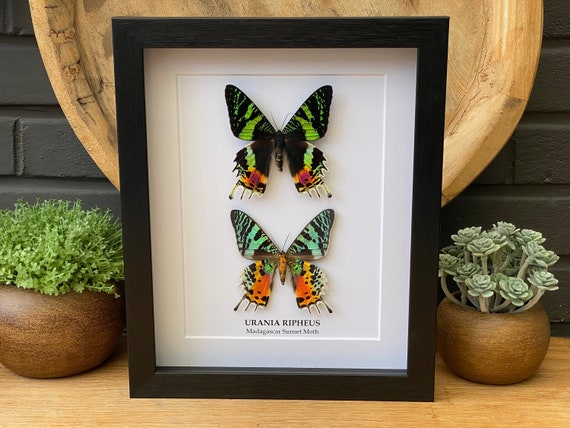 """Urania Ripheus """"Sunset moth"""" duo frame ,Butterfly Box Frame taxidermy entomology nature, beauty insect taxidermy photography"""