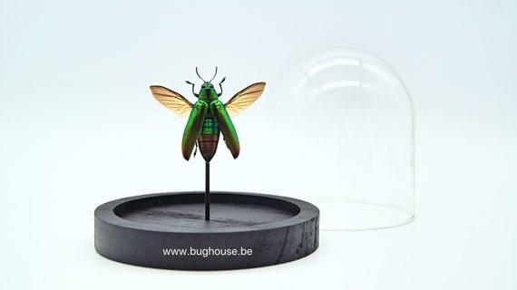 Bell Jar with a real Chrysochroa Fulminanus