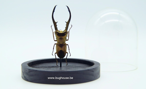 Cyclommatus metallifer in bell jar , taxidermy entomology nature, beauty insect taxidermy photography