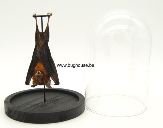 Bell jar with real hanging bat Hipposideros larvatus
