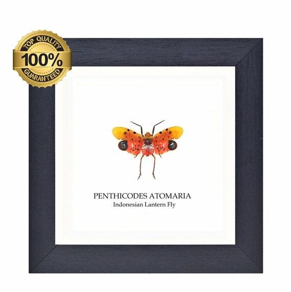 Framed Penthicodes Atomaria (Indonesian Lantern Fly)