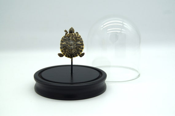 Bell Jar with a real mini turtle light color , Box Frame taxidermy entomology nature, beauty insect taxidermy photography