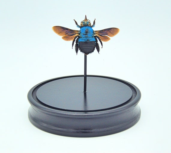 Bell Jar with a real Xylocopa caerulea bee, Butterfly Butterfly Box Frame taxidermy entomology nature, beauty insect taxidermy photography