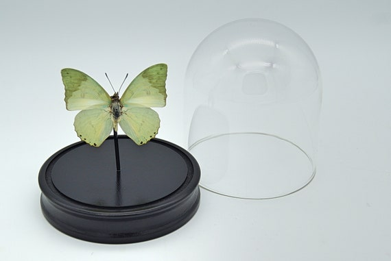 Bell Jar with a real Charaxes Eupale Butterfly, Taxidermy,art,birthday gift,Gift for friend, entomology