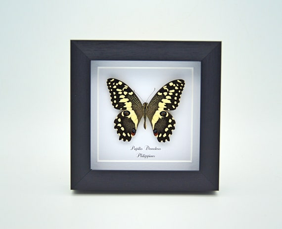 Papilio Demoleus framed,  nature, beauty insect taxidermy photography
