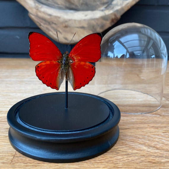 Cymothoe Sangaris butterfly in bell jar ,Butterfly Box Frame taxidermy entomology nature, beauty insect taxidermy photography