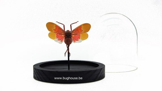 Scamandra Sanguiflua in bell jar, Butterfly Box Frame taxidermy entomology nature, beauty insect taxidermy photography