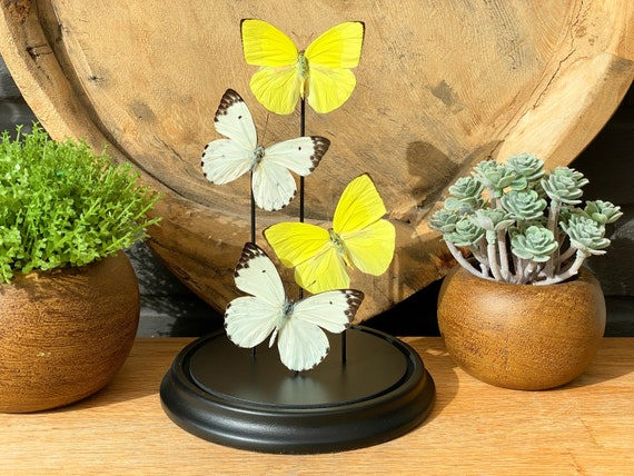 Belenois-Phoebis Yellow-White butterflies in bell jar, Butterfly Box Frame taxidermy entomology nature, beauty insect taxidermy photography