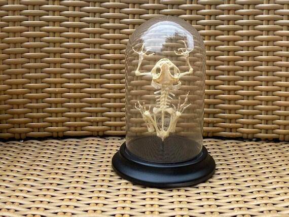 Real sitting frog skeleton in bell jar.